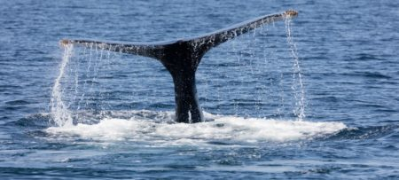 Whale tale sticking out of the ocean on Cape Cod