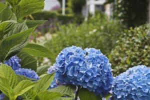 Another fresh blue hydrangea flower.