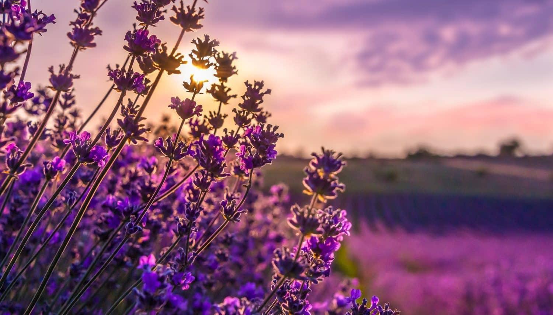 lavender field at a cape cod farm