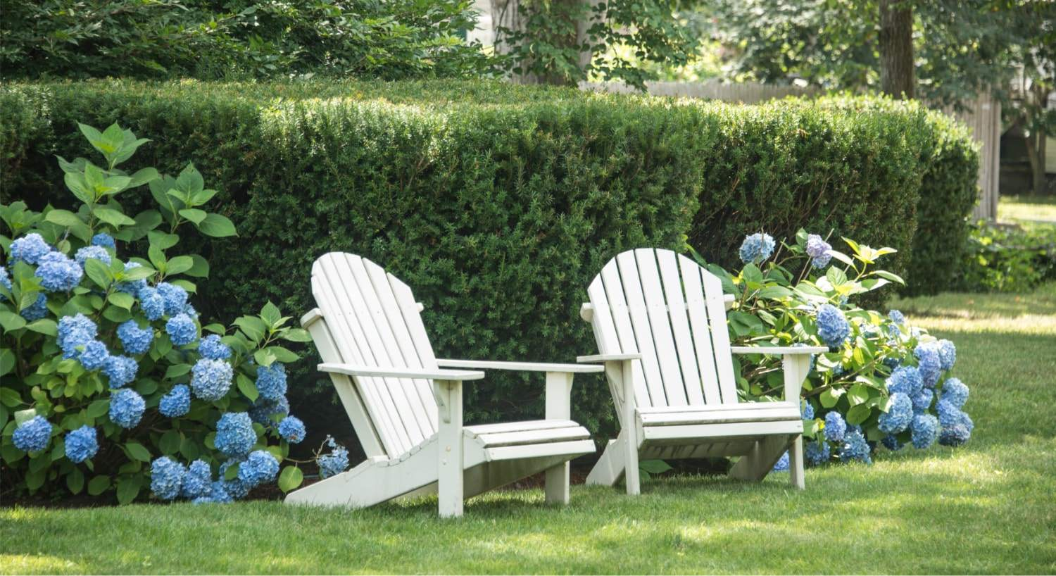 Two white Adirondack chairs sitting in green grass next to trimmed green shrubs and bushes with blue flowers